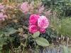 rose_steinsvikhagen